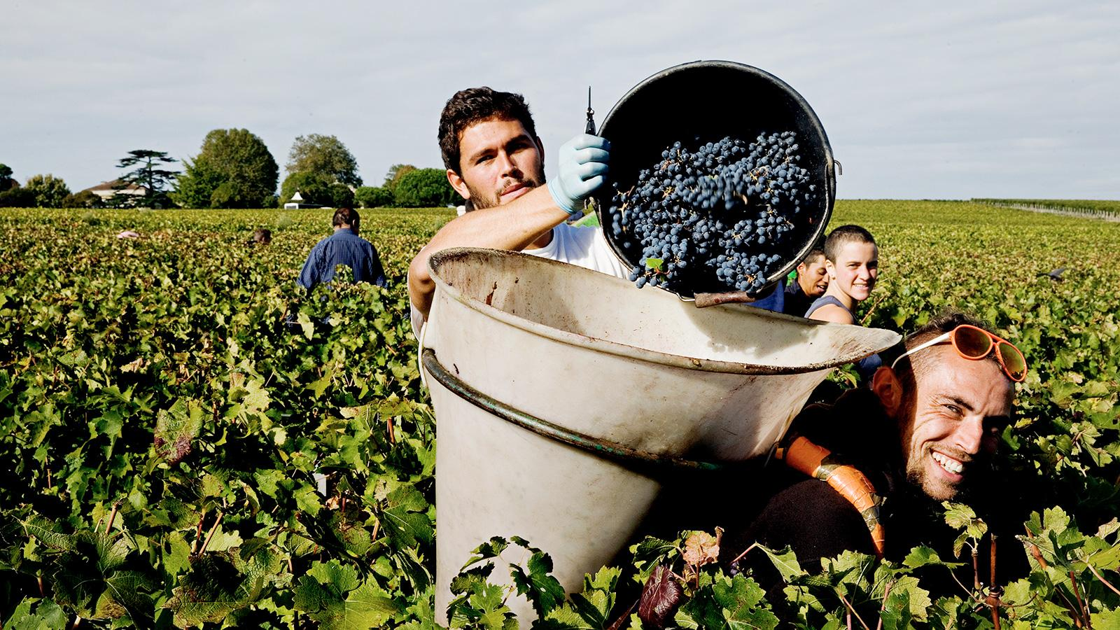 Wine Harvest 2015: Bordeaux Winemakers Believe the Vintage Is a Potential Classic