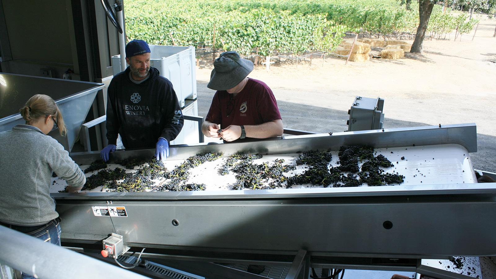 Wine Harvest 2015: Sonoma Vintners Are Optimistic After an Early Harvest