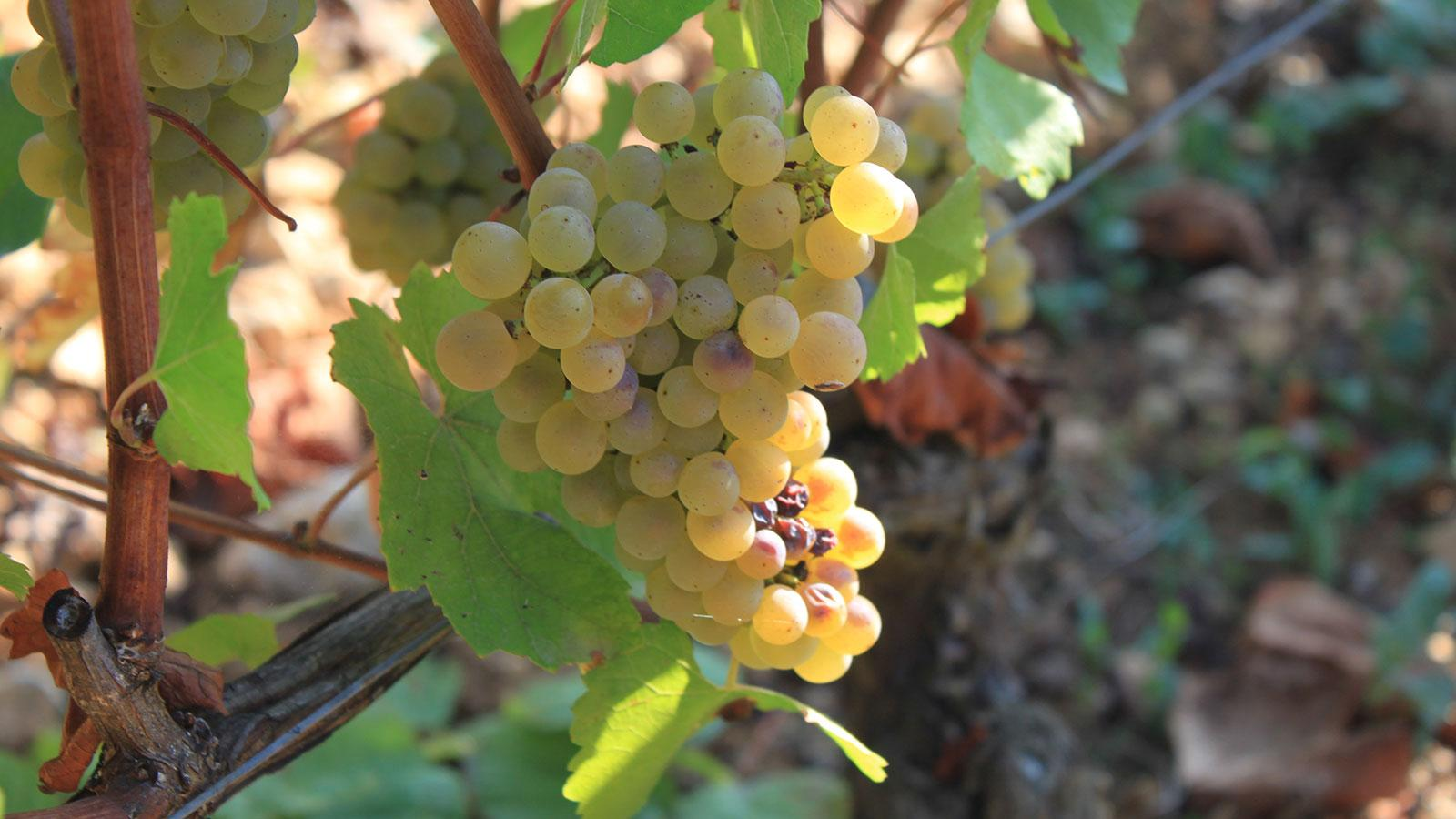 Wine Harvest Report 2016: Burgundy's Frost and Hail Produced High Quality and Low Quantities