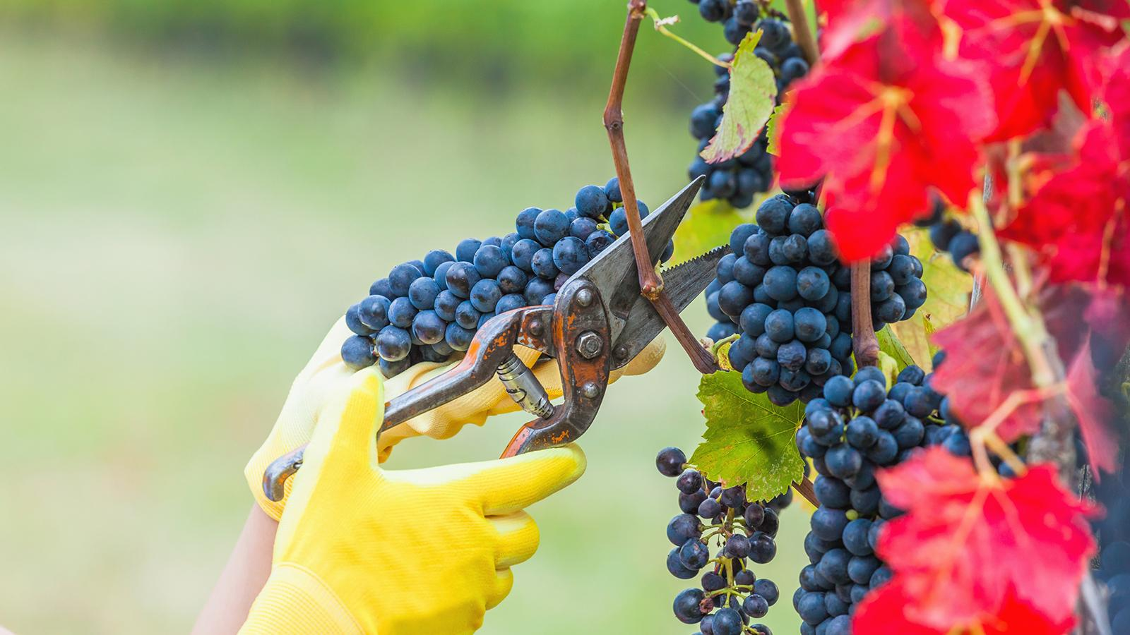 NASA and Harvard Experts Find Climate Change Has Fundamentally Altered French Wine Harvests