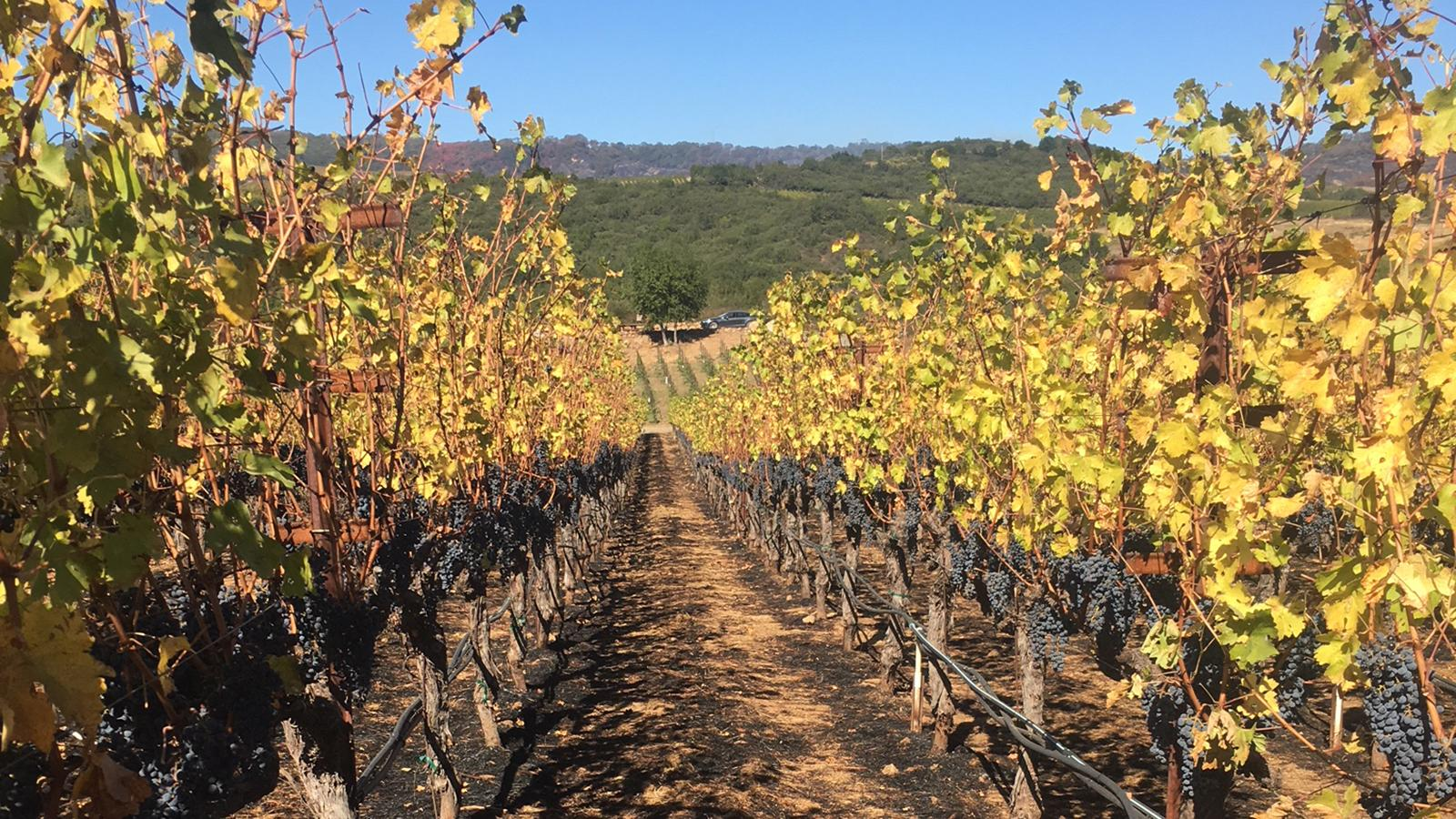 Oct. 20, 3:30 p.m. PST: Northern California Vintners Assess Wildfire Damage