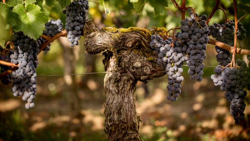 2018 Wine Harvest Report: Bordeaux Breathes a Sigh of Relief