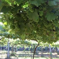 White wine grapes on vine