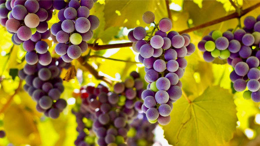 Red grapes and red wine contain anthocyanins, which the study found may decrease the risk of developing Alzheimer's.