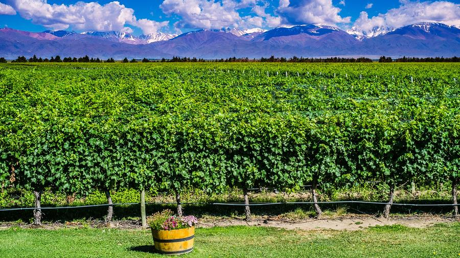 Snowmelt from the Andes mountain range provides vital water for vineyards in Mendoza.
