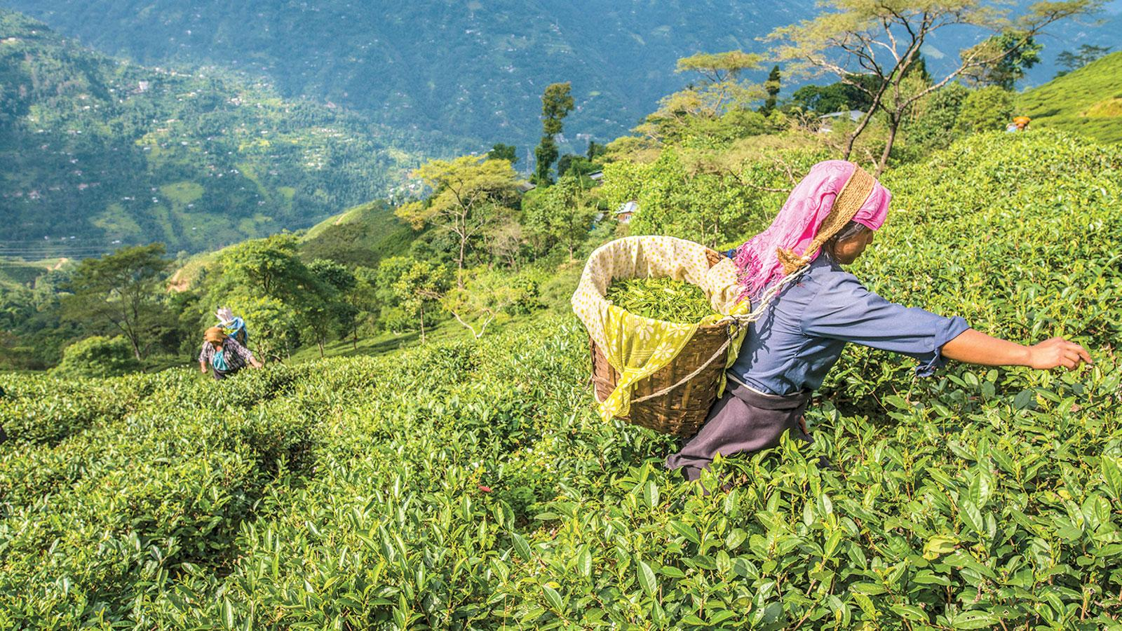 Darjeeling's Royal Flush